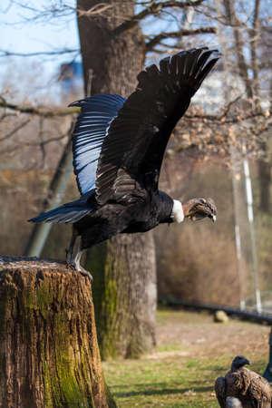 griffon: Griffon vulture .