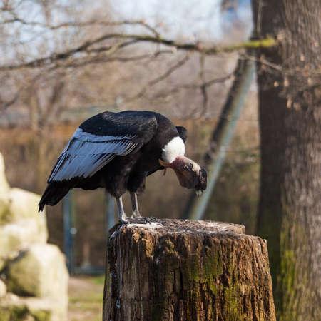 griffon: Griffon vulture . Gyps fulvus