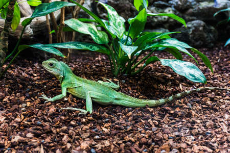 reptilia: Water Dragon.  Green Water Dragon. Green lizard Stock Photo