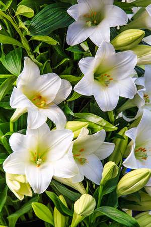 sch�ne blumen: white lily. beautiful flowers Lizenzfreie Bilder