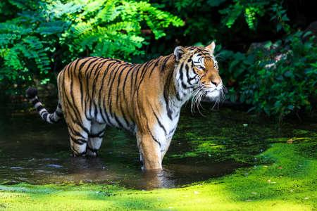 tigresa: Tiger en el agua  Foto de archivo