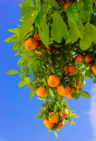 oranges hanging tree.  mandarin oranges. Juicy oranges on the tree on blue sky background. Stock Photo
