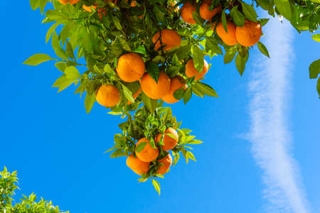 oranges hanging tree.  mandarin oranges. Juicy oranges on the tree on blue sky background. Stock Photo