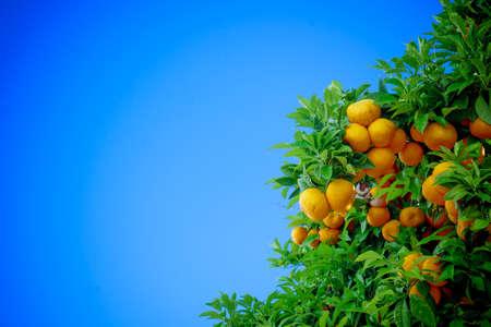 Rijpe sinaasappelen. sinaasappelen op een boom Stockfoto