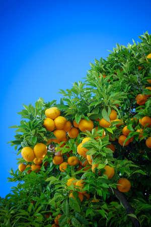 Rijpe sinaasappelen. sinaasappelen op een boom