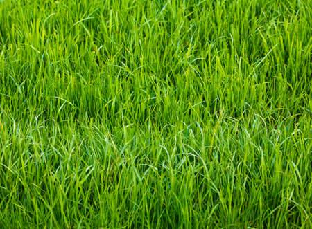 Background of a green grass.  Green grass texture Archivio Fotografico