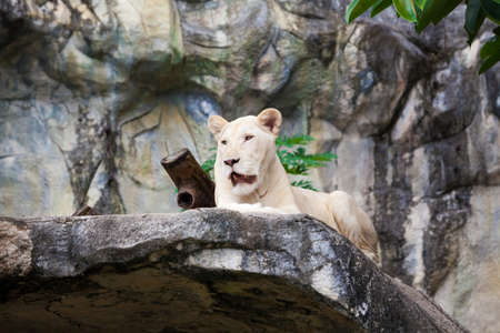 white liones.  Lion photo