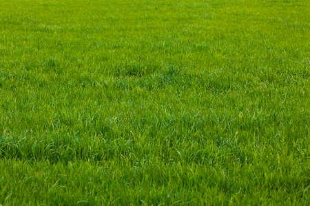 Background of a green grass.  Green grass texture Standard-Bild