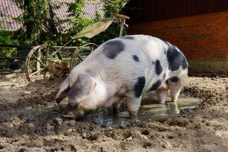 porker: pet pig on a farm Stock Photo