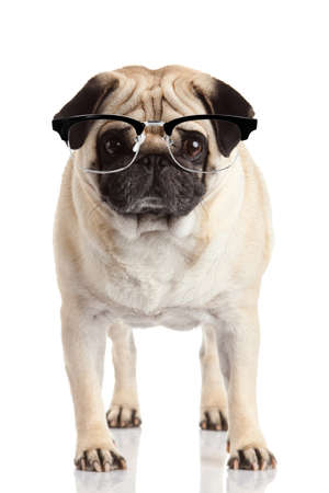 carlin: pug dog isolated on a white background. Dog with glasses