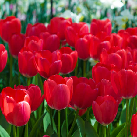 white tulip: Tulip. Beautiful tulips. colorful tulips. tulips in spring,colourful tulip Stock Photo