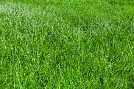 Erba verde senza soluzione di tessitura. sfondo di erba. Bella erba verde Archivio Fotografico - 42309367