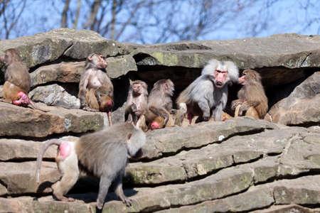 baboon: monkey family.  Hamadryas Baboon