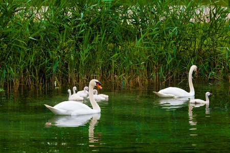 trumpeter swan: Swans on the lake