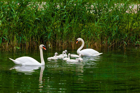 swimming swan: Swans on the lake. Swans with nestlings.  Swan with chicks. Mute swan family. Stock Photo