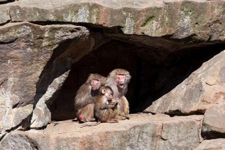 baboon:  Hamadryas Baboon