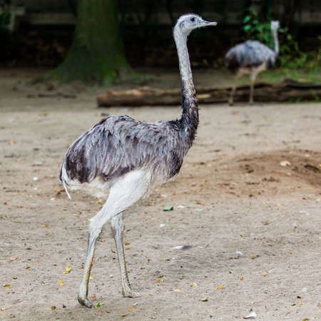 an ostrich: ostrich