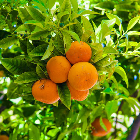 valencia orange: Orange tree.  Orange branch Stock Photo