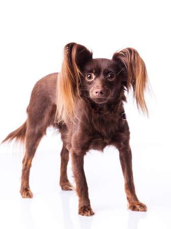 nice face: little dog on white Stock Photo