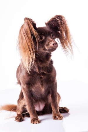 pathetic: little dog on white Stock Photo