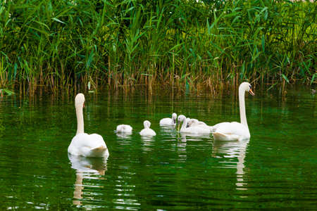 trumpeter swan: Swans on the lake. Swans with nestlings.  Swan with chicks. Mute swan family. Stock Photo