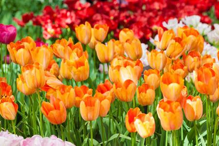 sch�ne blumen: Tulips. Spring flower. beautiful flowers