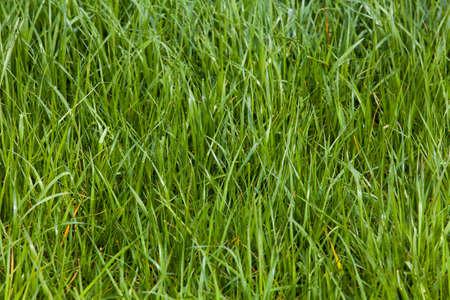 meadow  grass: Grass. Green meadow. grass texture