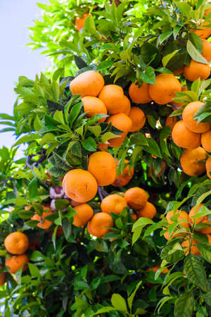 Orange trees in the garden.  fresh orange on plant, orange tree