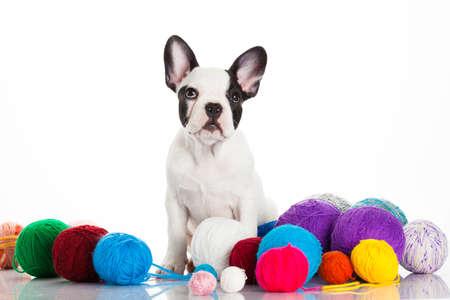 french bulldog puppy: French bulldog puppy on white background.