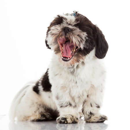 shihtzu: shih tzu on a white background Stock Photo