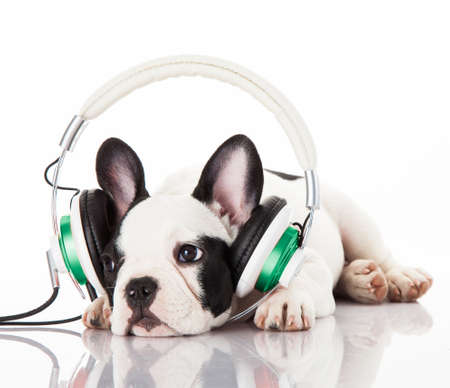 furry animals: perro escuchando música con auriculares aislados en fondo blanco. Retrato francés cachorro de bulldog sobre un fondo blanco