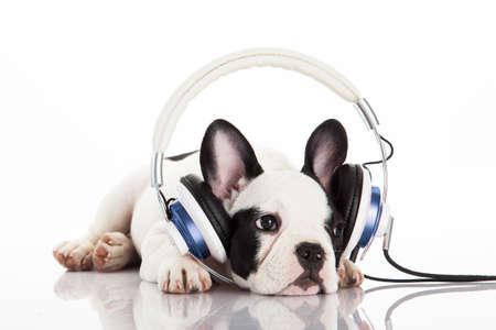bulldog: perro escuchando música con auriculares aislados en fondo blanco. Retrato francés cachorro de bulldog sobre un fondo blanco