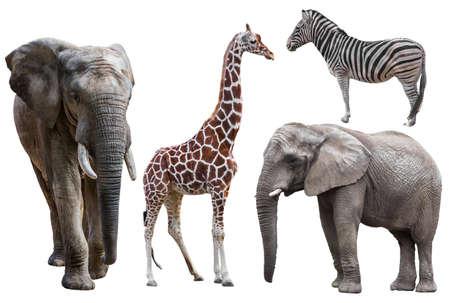 cebra: elefante, jirafa y una cebra aislados en blanco. animales africanos