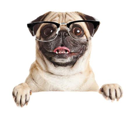 Pug Hond met lege billboard. Hond boven banner of teken. Pug hond portret over een witte achtergrond