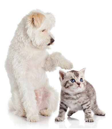 bichon: cat and dog on a white background.  Friends Stock Photo