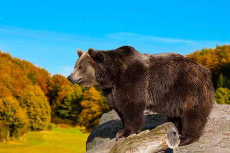 Braunbär. wilden Grizzlybären