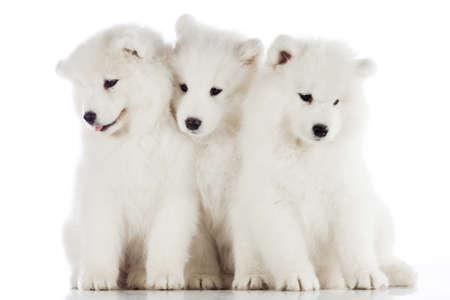 siberian samoyed: three samoyed puppies isolated on the white background. funny puppies of Samoyed dog