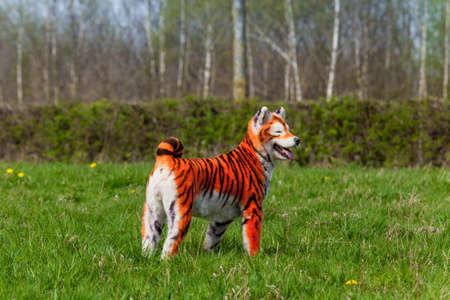 dog grooming: Samoyed dog repainted on tiger. groomed dog. pet grooming. Samoyed dog Stock Photo
