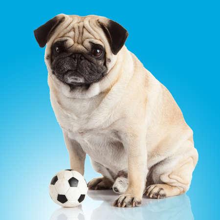 carlin: pug dog  on a blue background