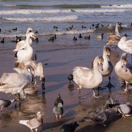 cygnet: Swans on the sea. Swans with ducks Stock Photo