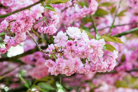 plentifully: pink flower.  spring background Stock Photo