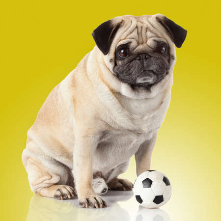carlin: pug dog isolated on a yellow background