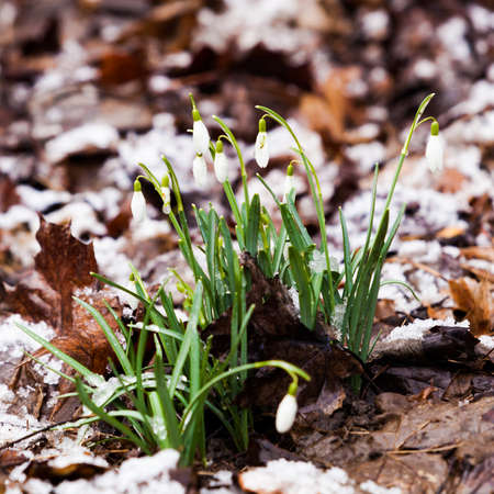 angiosperms: snowdrop, Galanthus nivalis. first spring flowers, snowdrops in garden