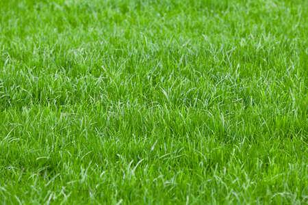 Antecedentes de una hierba verde. Textura de la hierba verde