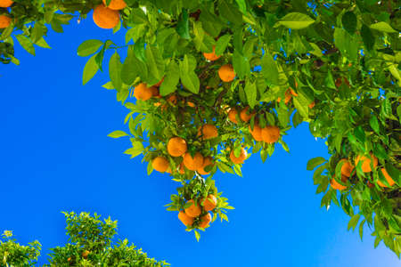 mandarin fruits on a tree.  Orange tree.  fresh orange on plant Stock Photo