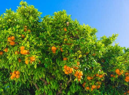 mandarijn fruit op een boom. Oranje boom. verse oranje op plantaardige