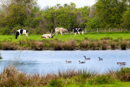 fresian: cows on meadow.  Herd of cows grazing
