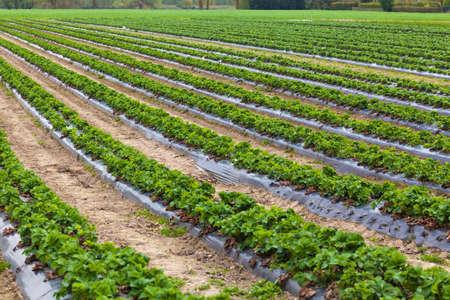 green ridge: Strawberry plant