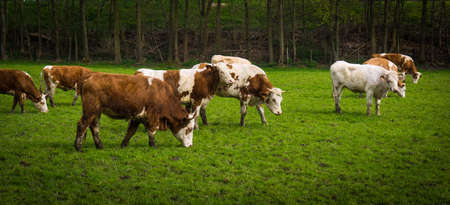 fresian: cows on meadow.  Cows grazing on a field