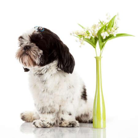 shih: Shih Tzu puppy Stock Photo